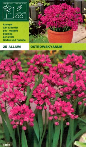 "Allium "" Ostrowskyanum "" (25 Zw)"