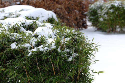 Winterschutz Fur Bambus Rechtzeitig In Angriff Nehmen Garten Blog