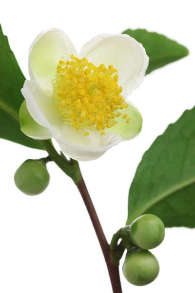 die camellia sinensis ist nicht nur eine heilpflanze sondern auch f r den garten ein highlight. Black Bedroom Furniture Sets. Home Design Ideas