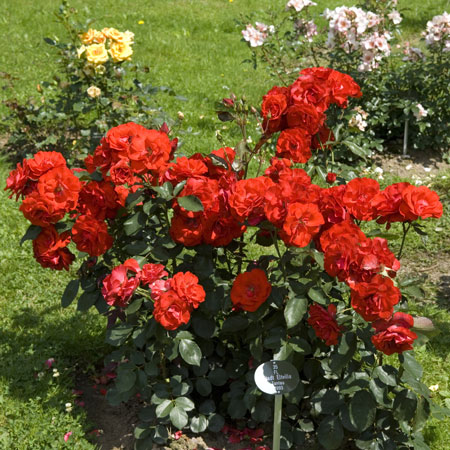 Floribundarose aus der Rosenstadt Eltville