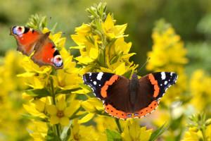 Garten für Schmetterlinge