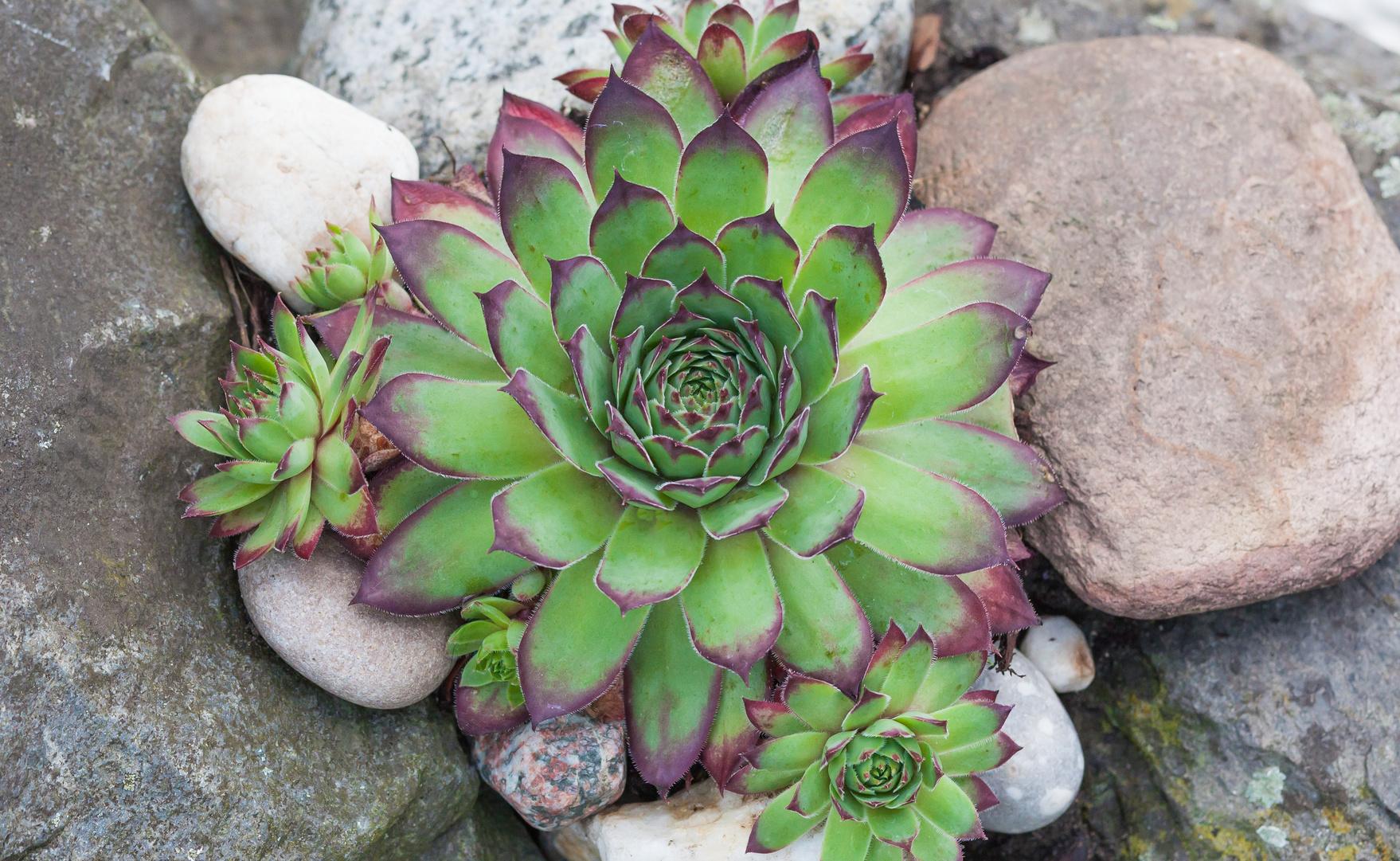 Winterharte Sukkulenten im Garten sind eine Bereicherung Garten Blog ~ 23202556_Sukkulenten Im Winter Umtopfen