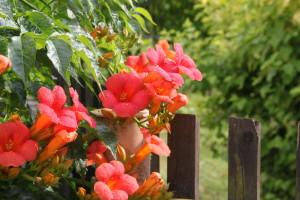 Trompetenblumen am Gartenzaun