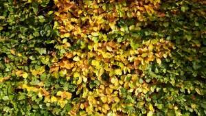 Blutbuchenhecke Herbst