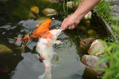 Der gartenteich was ist zu tun im herbst und winter for Teich fische winter