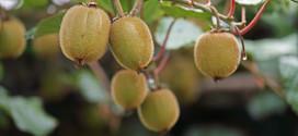 Kiwi-im-Garten