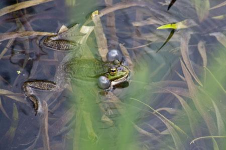 Laermquelle-frosch