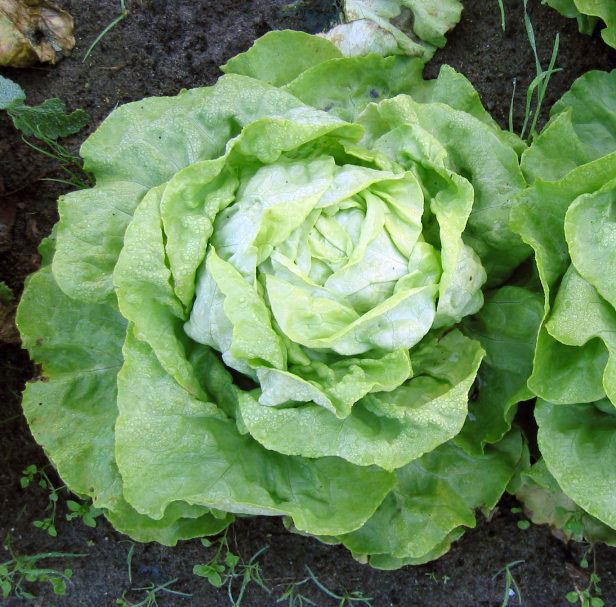 Salat anbauen und ernten