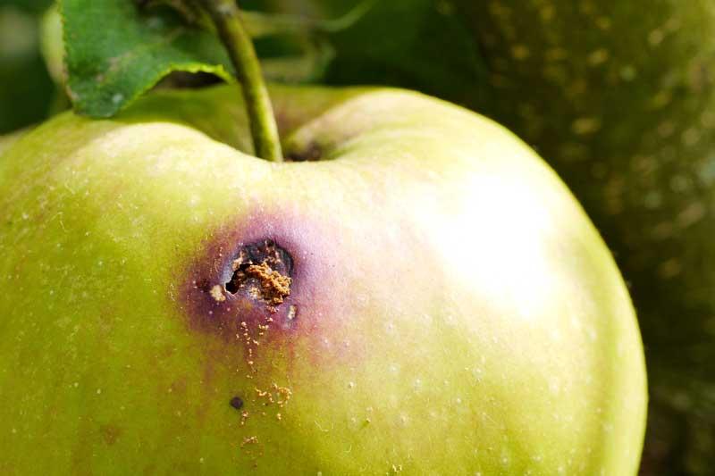 Schädlingsbefall an Apfel von Apfelwickler