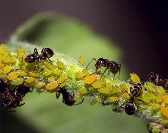 Ameisen helfen gegen Blattläuse