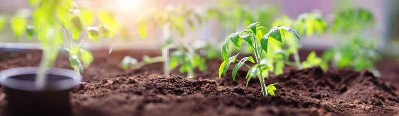 junge-tomatenpflanzen