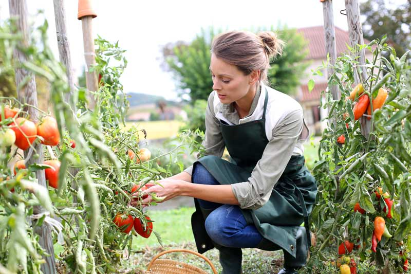 tomaten-ernten